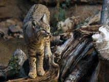 站立在死的日志的美洲野猫 免版税库存照片