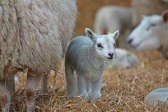 与她的羊羔的母羊 免版税图库摄影