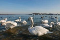 站立在水中和搜寻食物的美丽的白色天鹅 图库摄影