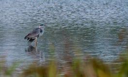站立在水中的大灰色苍鹭 库存照片