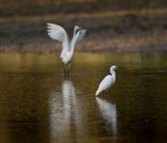 站立在水中的白色苍鹭 免版税库存图片