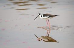 站立在水中的秘鲁高跷 免版税库存照片