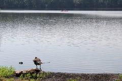 站立在水中的鹅在湖附近边缘  库存图片