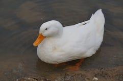 站立在水体的白色鸭子 免版税库存照片