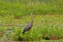 站立在水和植被的伟大蓝色的苍鹭的巢 免版税库存照片