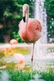 站立在水喷泉前面的桃红色火鸟 免版税图库摄影