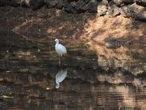 站立在水自然的白色鸟 免版税库存图片