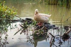 站立在池塘中间的米黄色的鹅 库存图片