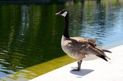 站立在池塘旁边的加拿大鹅 库存照片