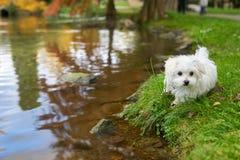 站立在池塘旁边的马耳他狗 免版税库存照片