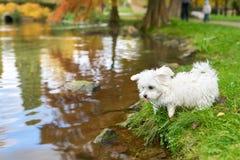 站立在池塘旁边的马耳他狗 库存照片