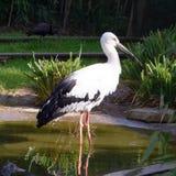 站立在池塘的鹳 图库摄影