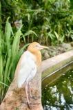 站立在池塘附近的孤独的牛背鹭(Bubulcus朱鹭)鸟的被弄脏的和选择聚焦图象 免版税库存图片