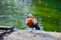 站立在池塘附近的逗人喜爱的鸭子 库存照片