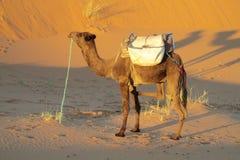 站立在沙子沙漠的骆驼 免版税库存图片