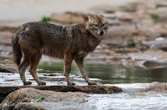 站立在河旁边的狐狼 图库摄影