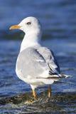 站立在河的白头的鸥 免版税库存照片