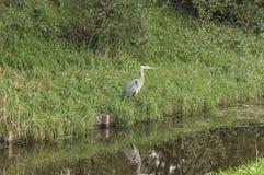 站立在河附近的苍鹭 库存图片