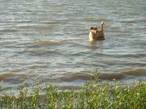 站立在河水的金黄狗 免版税库存图片