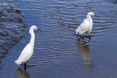 站立在沼泽地的两白鹭 库存图片