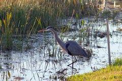 站立在沼泽的一个伟大蓝色的苍鹭的巢 免版税库存图片
