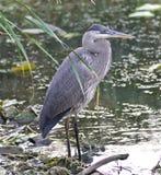 站立在泥的一个伟大蓝色的苍鹭的巢的图象 库存照片