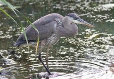 站立在泥的一个伟大蓝色的苍鹭的巢的图象 免版税图库摄影