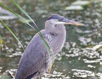 站立在泥的一个伟大蓝色的苍鹭的巢的照片 免版税库存图片
