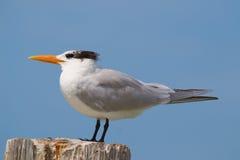 狂放的燕鸥Estero盐水湖 库存照片
