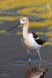 站立在浅池塘水中的美国长嘴上弯的长脚鸟 免版税图库摄影