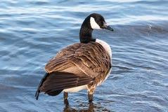 站立在浅水区的加拿大鹅 免版税图库摄影