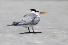 站立在海浪的皇家燕鸥(胸骨最大值) 库存照片