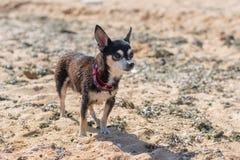 站立在海海滩的沙子的小的逗人喜爱的狗 库存照片
