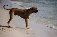 站立在海滩沙子的大棕色爱犬在阳光下用清楚的海洋水 库存照片