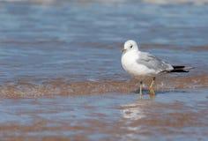站立在海滩的一只共同的鸥 库存图片