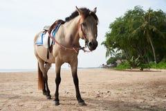 站立在海滩的美丽的棕色马 库存图片