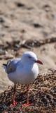 站立在海草的澳大利亚海鸥 免版税图库摄影
