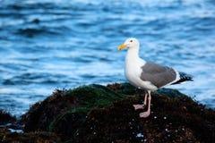 站立在海滩岩石的海鸥在海洋旁边在日出 库存图片