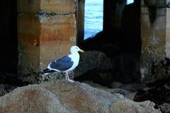 站立在海滩岩石的海鸥在海洋旁边在日出 库存照片