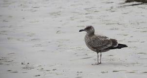 站立在海滩的一只海鸥 免版税图库摄影
