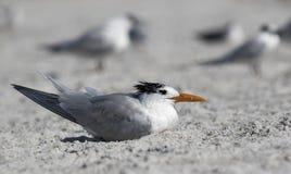 站立在海滩的皇家燕鸥(胸骨最大值) 库存照片