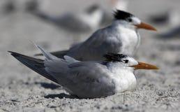 站立在海滩的皇家燕鸥(胸骨最大值) 图库摄影