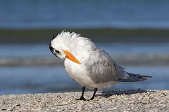 站立在海滩的皇家燕鸥(胸骨最大值) 免版税库存图片