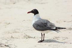 站立在海滩的笑的鸥 库存照片