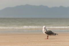 站立在海滩的红开帐单的鸥 免版税库存照片
