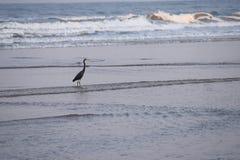 -站立在海水的西部礁石苍鹭-白鹭属Fularis在商品靠岸,印度 免版税库存照片