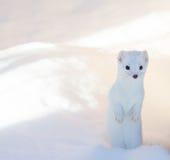 站立在深雪的白色白鼬毛皮狡猾的人 库存照片