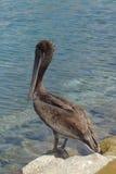 站立在港口的鹈鹕 免版税库存图片