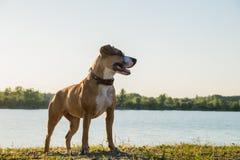 站立在湖前面的愉快的幼小狗在日落 免版税库存图片