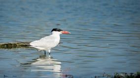 站立在湖岸的里海燕鸥 免版税库存照片